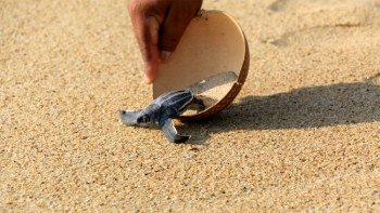 Baby Turtles Release Experience & Fruit Plantations Visit