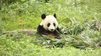 Private Half-Day Tour to Dujiangyan Panda Base