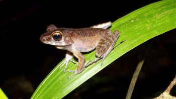 Evening Frog Hunting in Kubah National Park