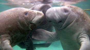 Guided Underwater Swim with Manatees