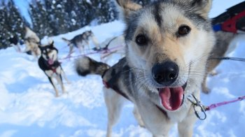Full-Day Winter Dog Sledding Tour