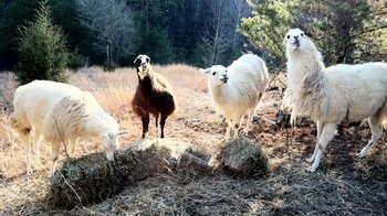 Smoky Mountain Llama Farm Visit