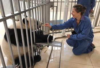 Panda Volunteer Programme at Dujiangyan Panda Base with Private Guide