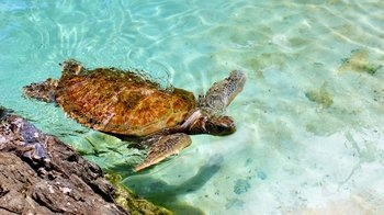 Green Sea Turtle Encounter at Coral World Ocean Park