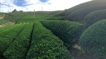 Small-Group Tour of Japanese Tea Fields with Lunch in Wazuka