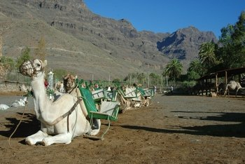 Camel Ride in Fataga with BBQ