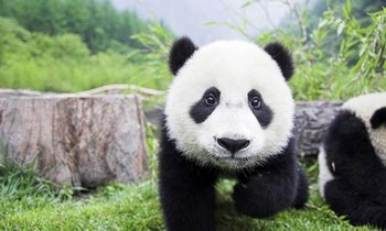 Private Chengdu Panda Day Tour with a Flexible Downtown Site