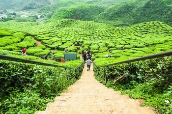 Private Full-Day Cameron Highlands Tour from Kuala Lumpur