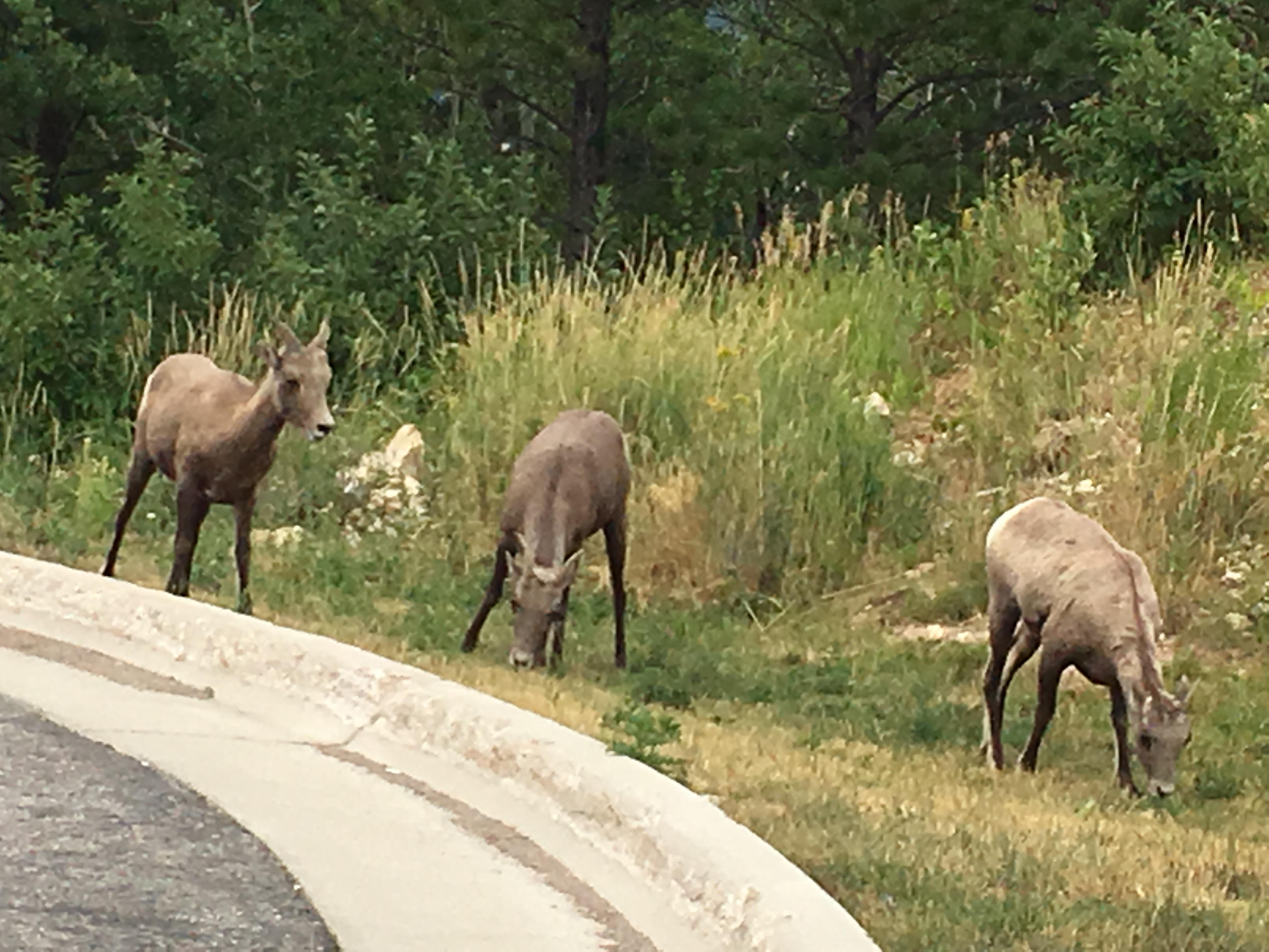 Bighorn sheep by the parking lot