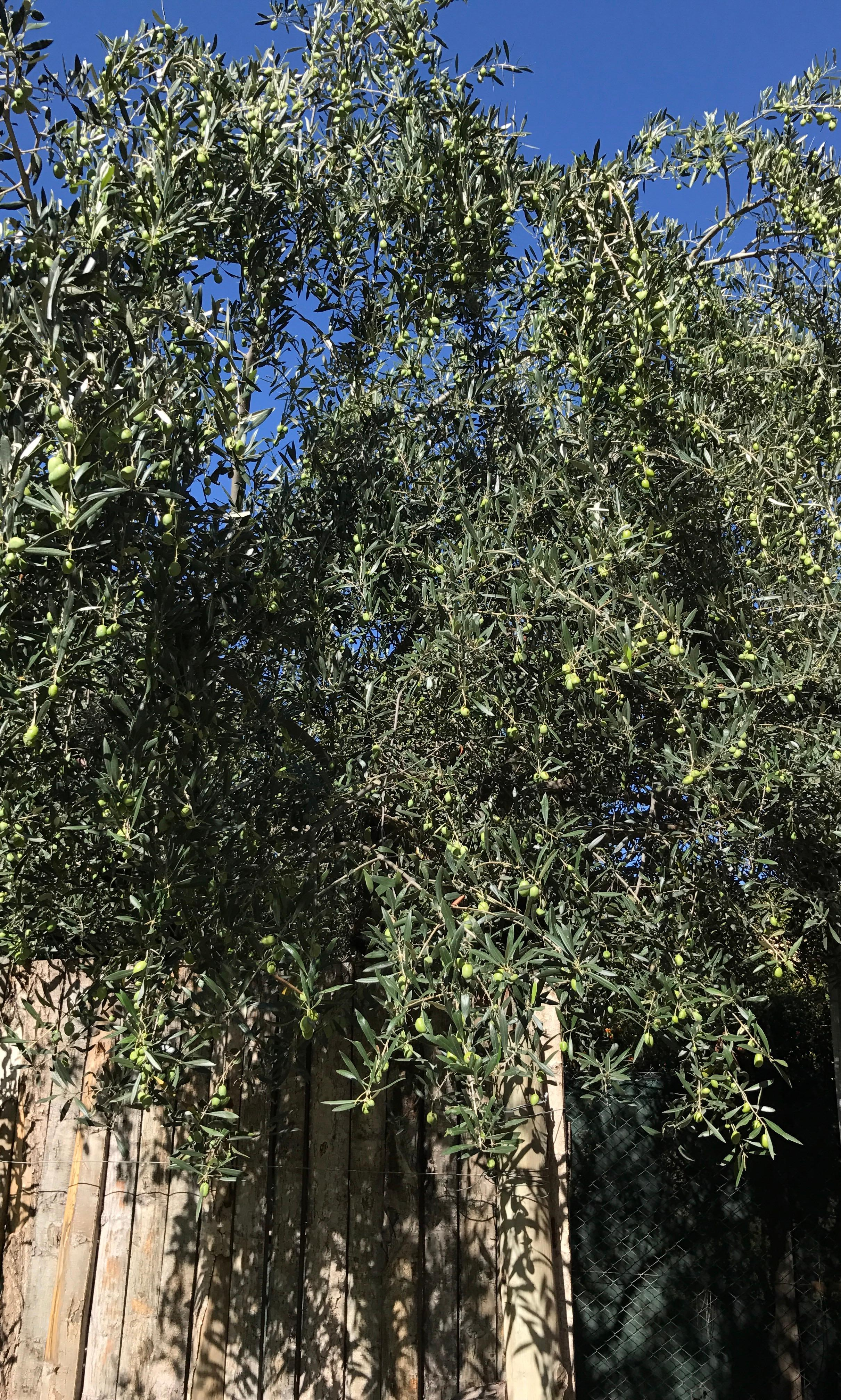 Olive tree in courtyard 😊
