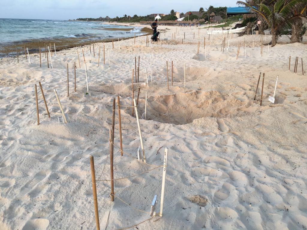 Nests on beach
