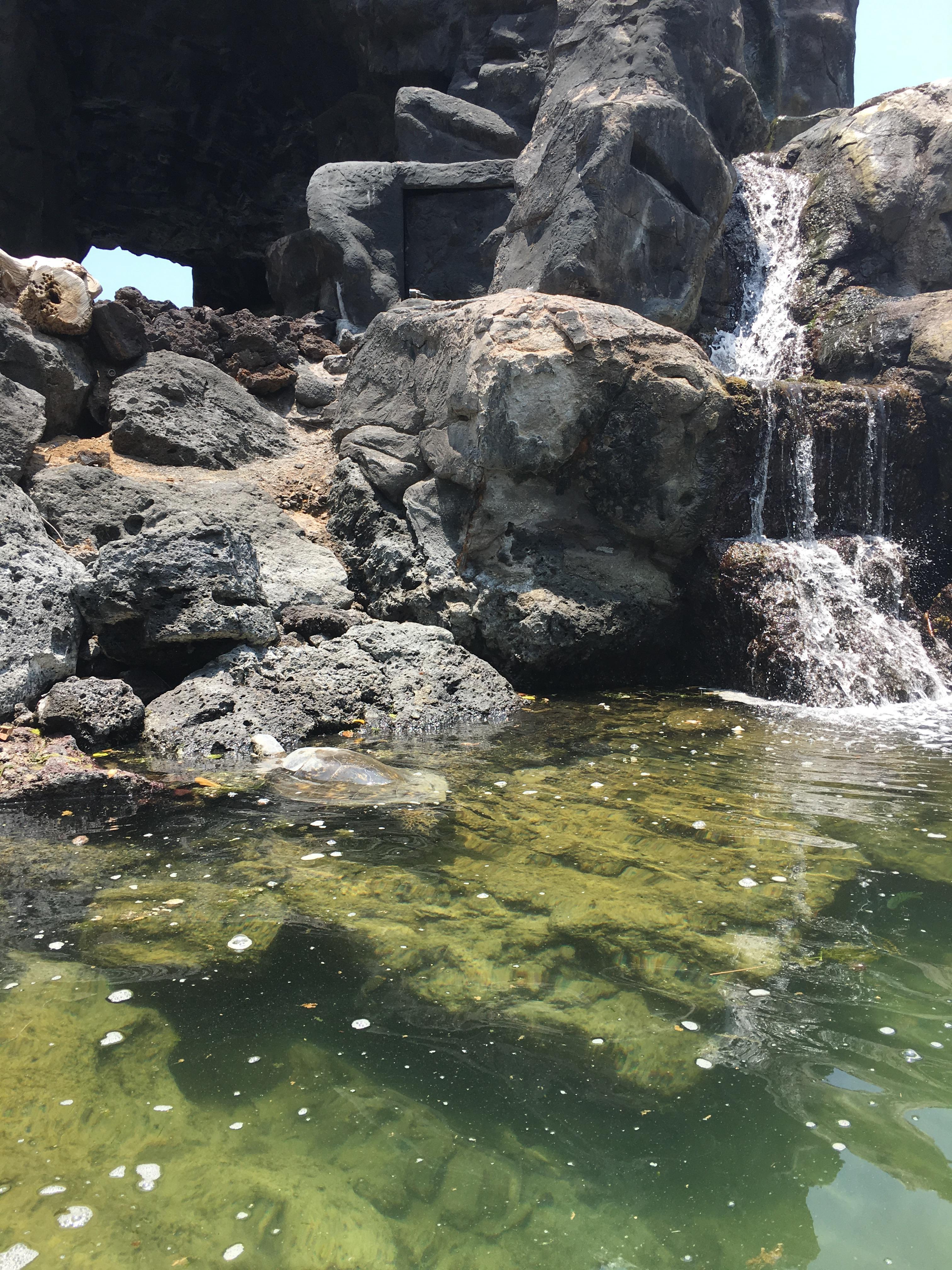 Snorkeling for sea turtles