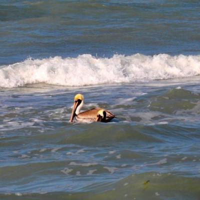 Pelicans hunting at Pearl Beach Inn