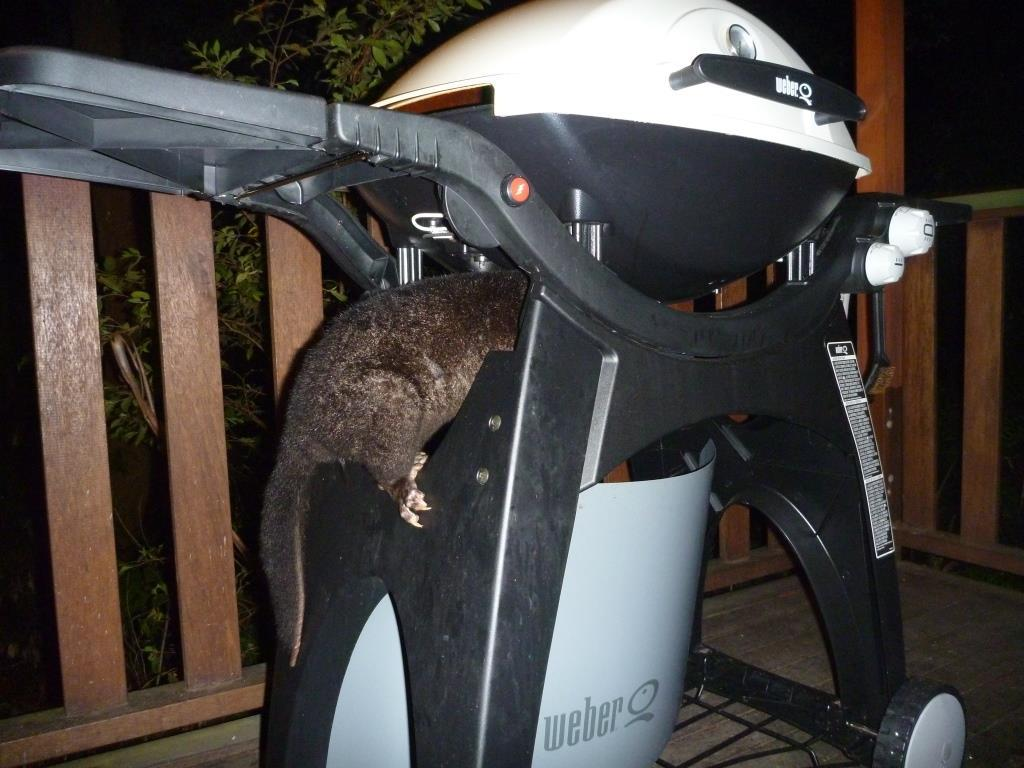 Greedy possum