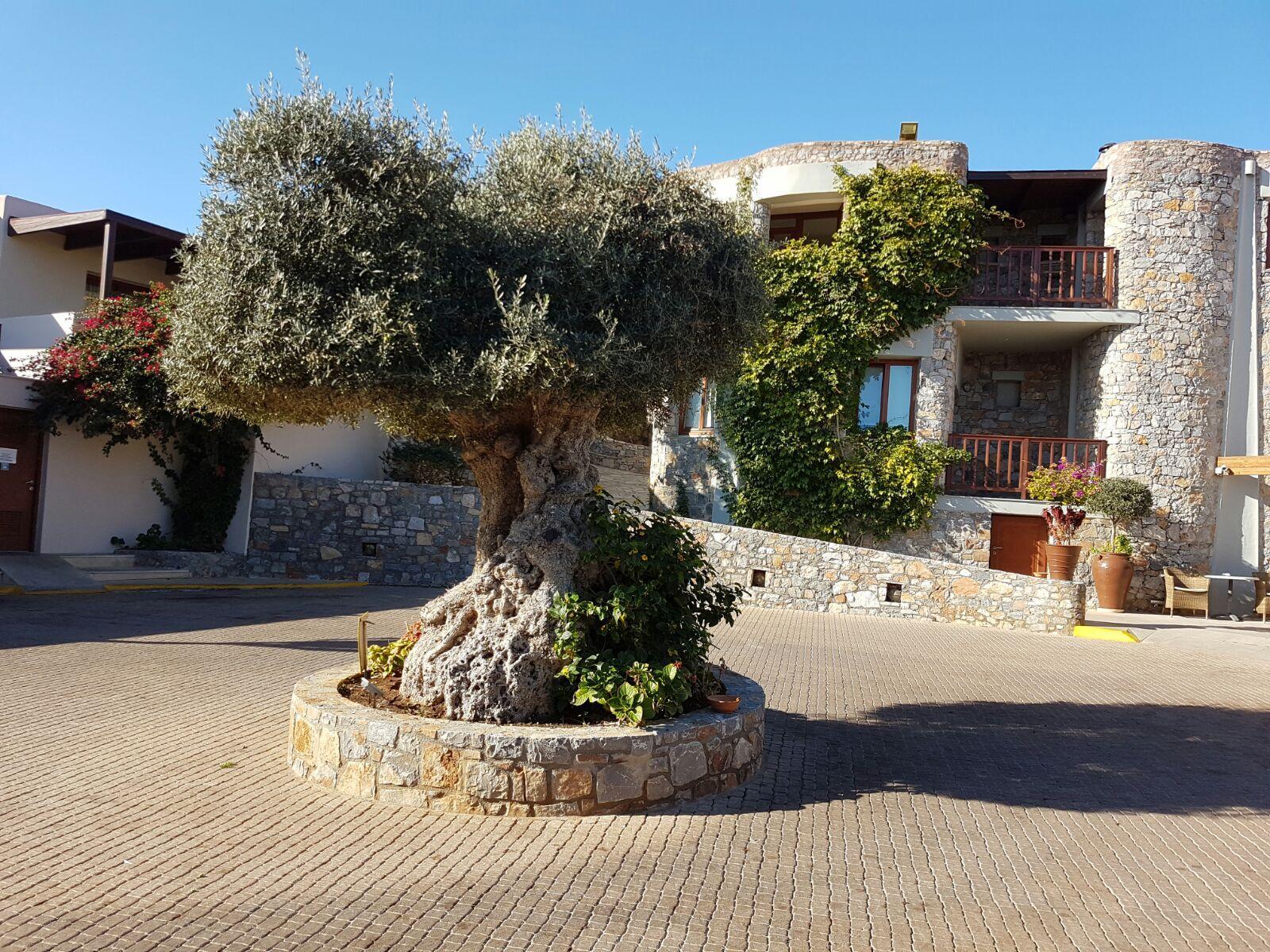 Olivenbaum vor der Receptionseingang.