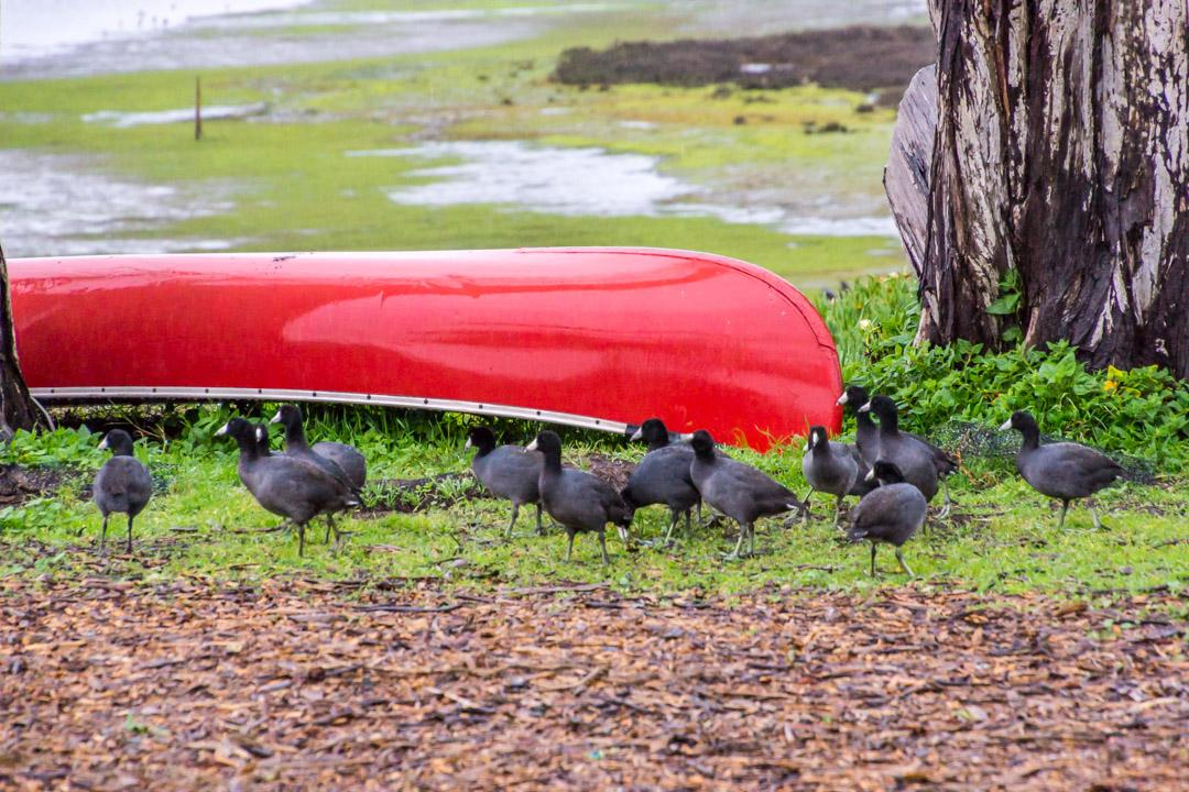 Coots in Front of the Inn