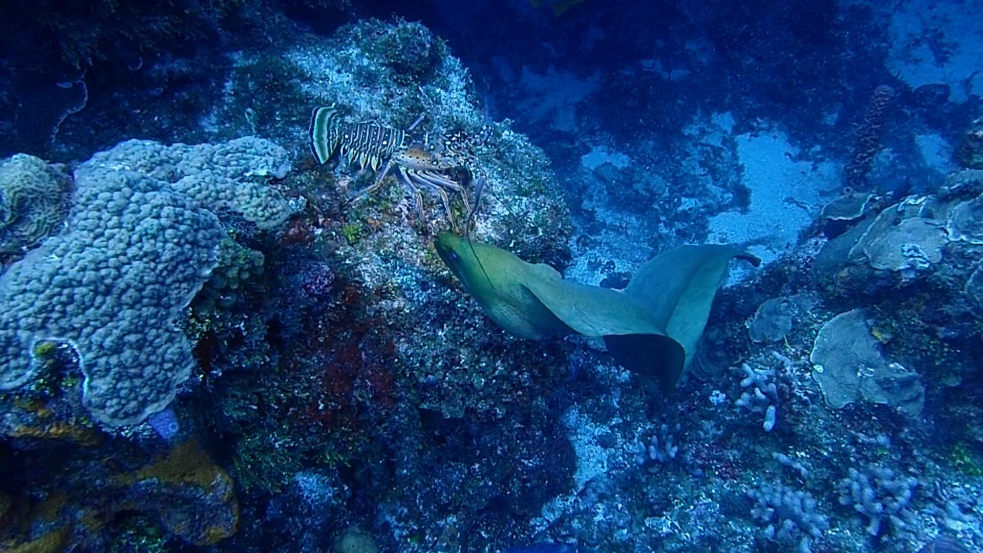 Moray eel fights with a lobster!