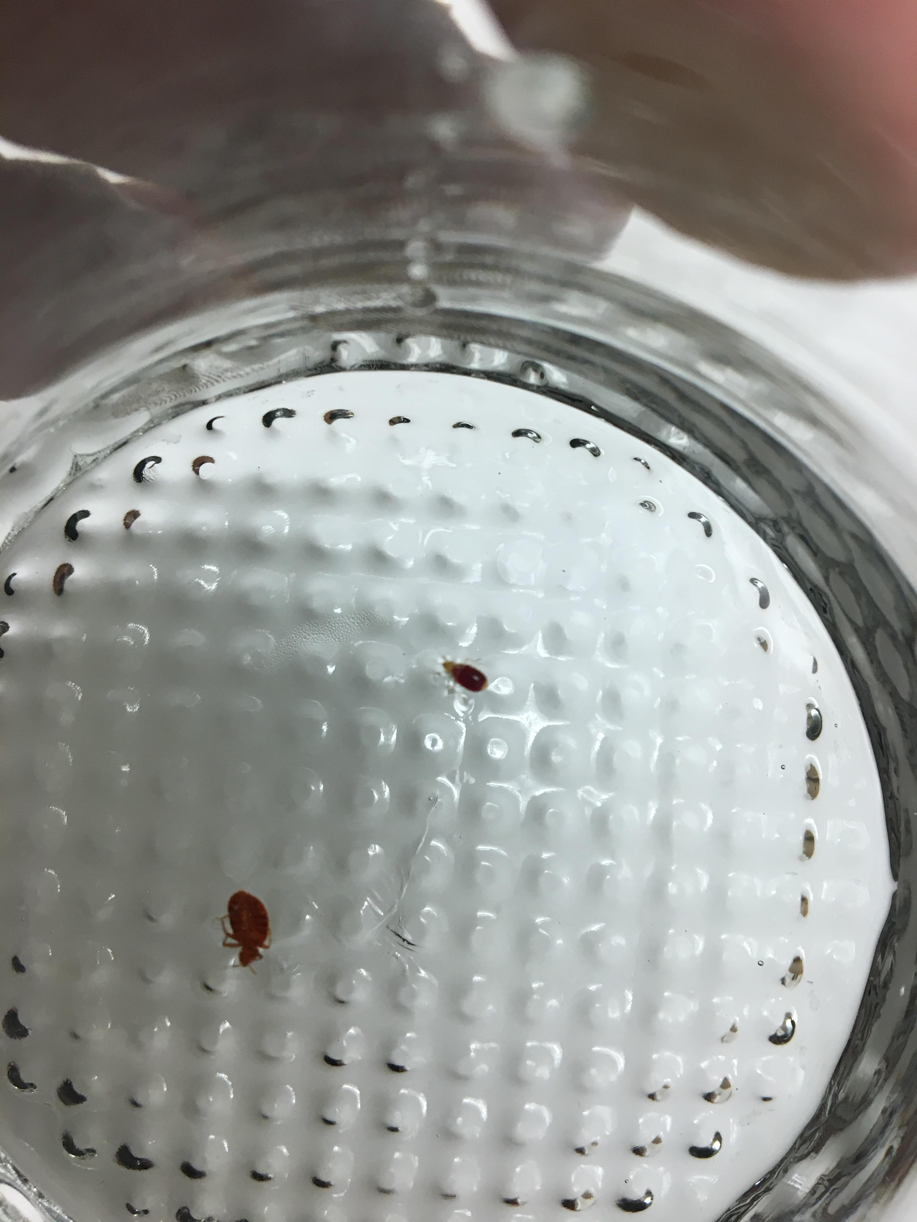 Bed bugs for Evidence