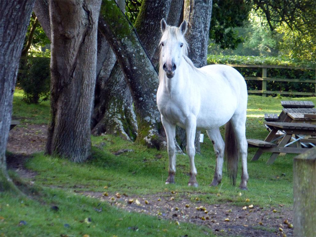 New Forest Pony at High Corner Inn