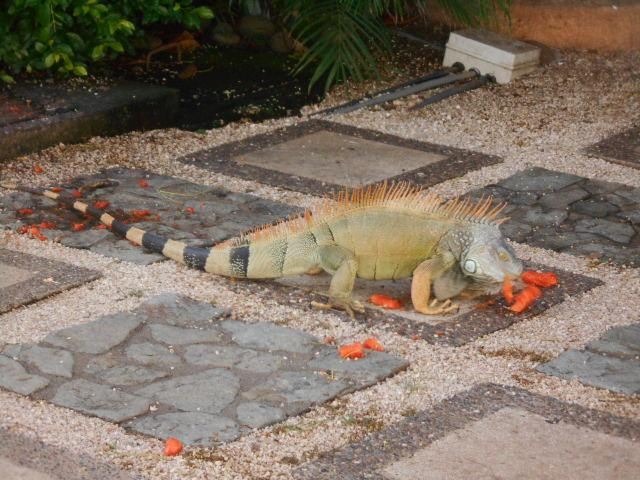 Iguana having a snack