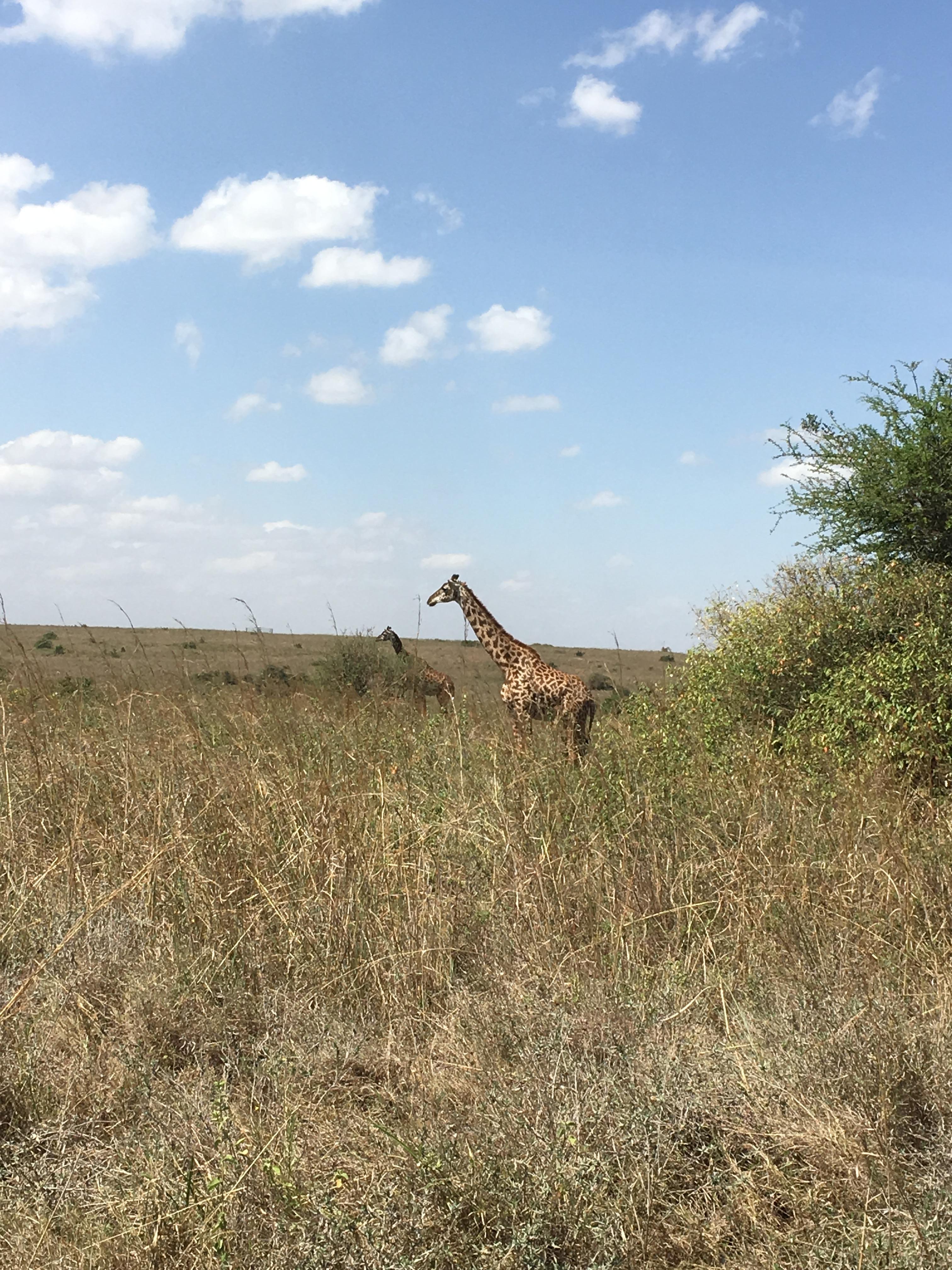 Giraffe in national park